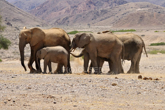 Afrique, Namibie, Kaokoland, groupe de cinq éléphants d'Afrique, Loxodonta africana, à Hoanib River — Photo de stock