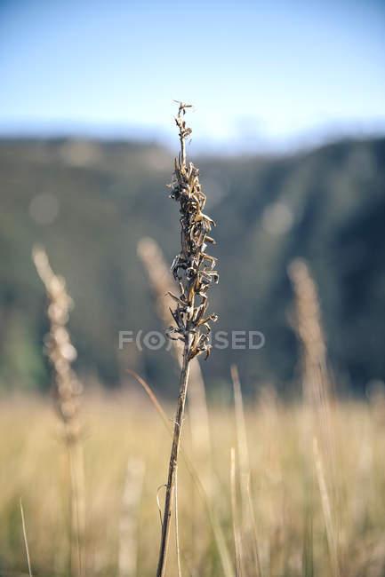 Fechar p de espiga em um campo em dia ensolarado — Fotografia de Stock