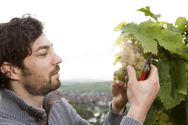 Confident winegrower cutting grape in vineyard — Stock Photo