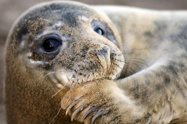 Retrato de close-up de selo cinza à luz do dia — Fotografia de Stock