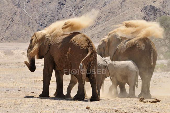 Африка, Намибия, Каоколанд, группа из четырех редких намибийских пустынных слонов, Loxodonta africana, на реке Хоаниб — стоковое фото