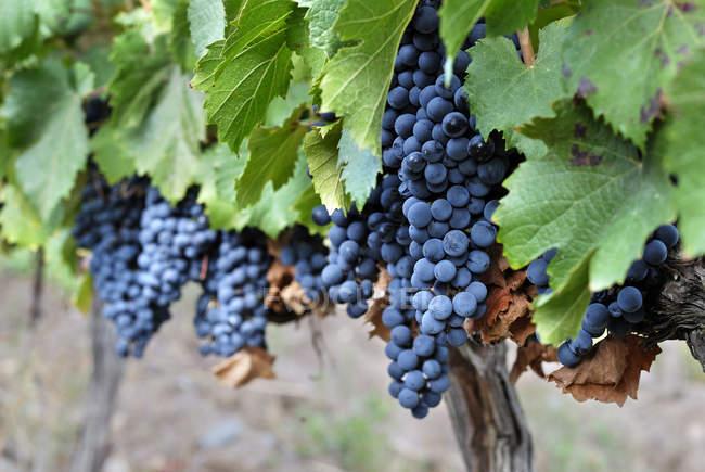 Uvas rojas maduras que crecen en la planta en el viñedo - foto de stock