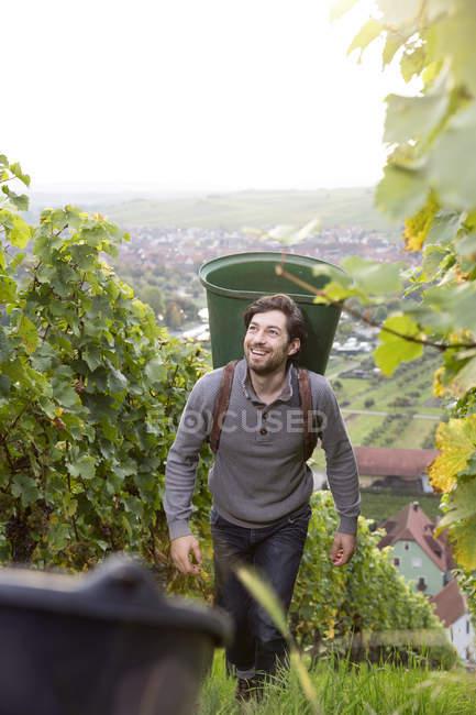 Smiling man harvesting grapes in vineyard — Stock Photo