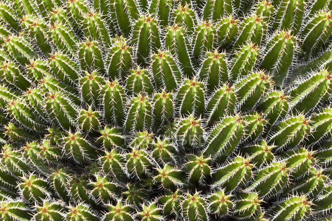 Morocco, Euphorbia, Euphorbia echinus — Stock Photo