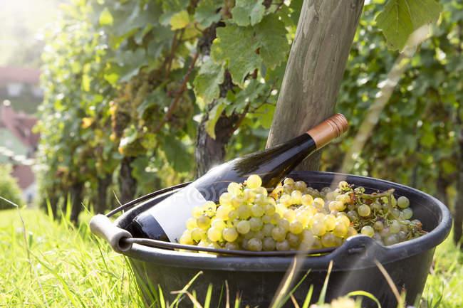 Uvas verdes cosechadas y botella de vino en el viñedo - foto de stock