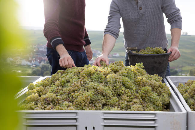 Мужчины, сортировка зеленого винограда в коробке и в ведро — стоковое фото