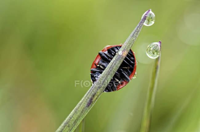 Sieben gefleckten Marienkäfer Coccinella Septempunctata auf Grashalm — Stockfoto