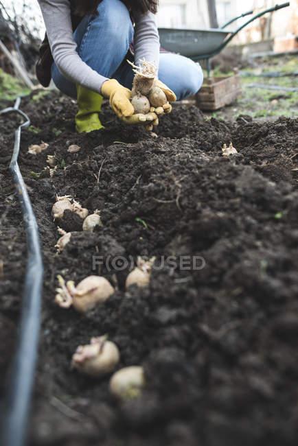 Primer plano del agricultor plantación de patatas en huerta - foto de stock