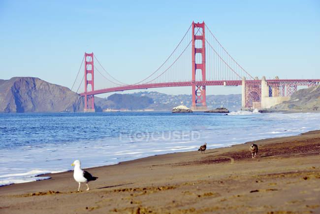 EE.UU., California, San Francisco, gaviotas en Baker Beach y Golden Gate Bridge - foto de stock
