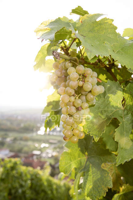 Close-up of green grapes growing on plant in vineyard — Stock Photo
