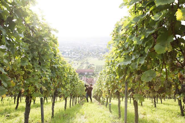 Людина збирання білого винограду на винограднику — стокове фото