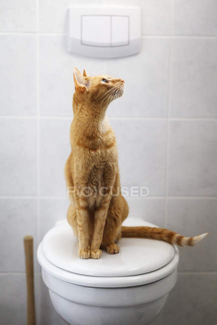 Abyssinian cat sitting on a toilet lid and looking up — Stock Photo
