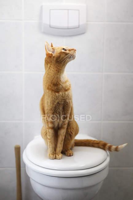 Gato abissínio sentado sobre uma tampa de sanita e olhando para cima — Fotografia de Stock