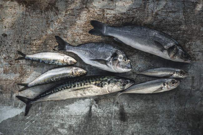Крупным планом на сырой рыбы, морской лещ, морской окунь, скумбрия и сардины на темные деревянные поверхности — стоковое фото