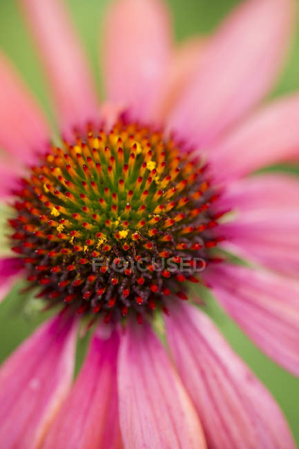 Pink coneflower, Echinacea, close-up — Stock Photo