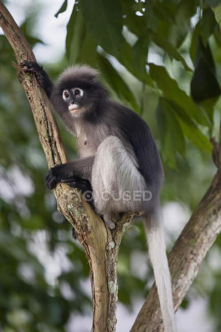 Macaco de folha escura, sentado no galho de árvore — Fotografia de Stock