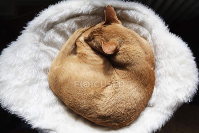 Абиссинская кошка спит на овечьей шкуре в корзине — стоковое фото