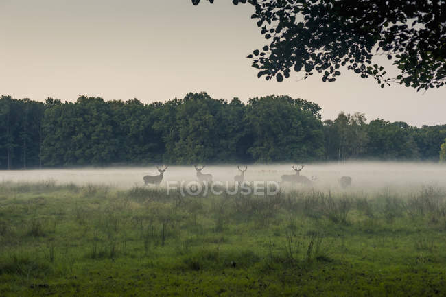 Германия, Саксония, зеленой травой поле оленей и деревьев на фоне — стоковое фото