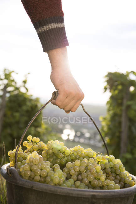 Man carrying bucket of grapes — Stock Photo