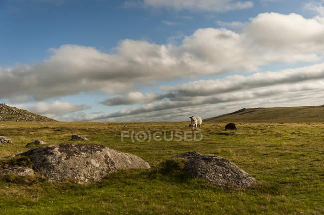 Bodmin Moor, pecore, Cornovaglia, Inghilterra, Regno Unito — Foto stock