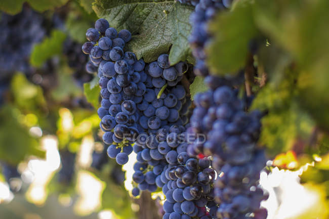Close-up of Red grapes hanging on plant — Stock Photo