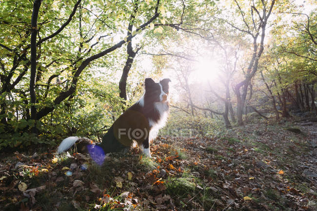 Border Collie sitting on forest soil at backlight — Stock Photo