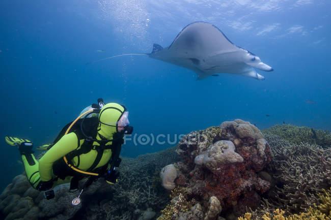 Oceanía, Micronesia, Yap, Buceador con arrecife manta ray, Manta alfredi - foto de stock