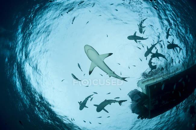 Океанія, Мікронезія, Яп, сіра рифова акул, сіра акула amblyrhynchos, вгору зору з човна — стокове фото