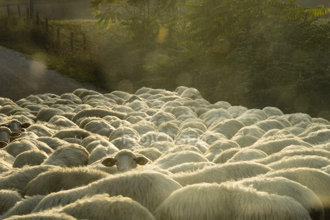 Italy, Tuscany, flock of sheep on a road, overhead view in sunlight — Stock Photo