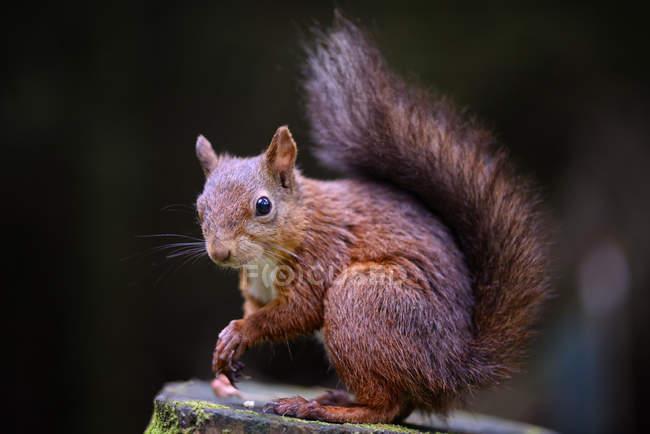 Портрет Евразийского белки, Sciurus vulgaris — стоковое фото