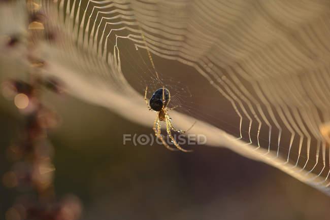 Épeire diadème, Araneus diadematus, accroché sur le web — Photo de stock