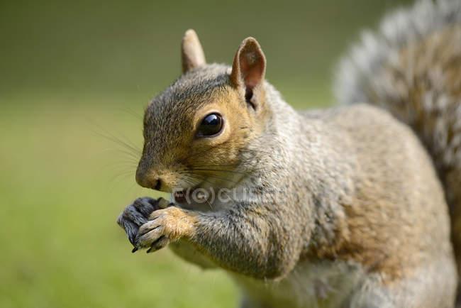 Портрет едят серой белки, Sciurus carolinensis — стоковое фото