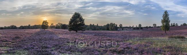 Germany, Lower Saxony, Heath district, Lueneburg Heath and trees on field — Stock Photo