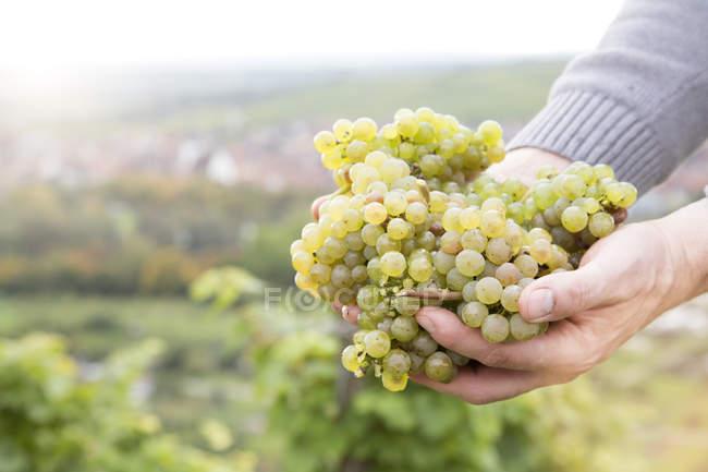 Крупным планом человеческих рук, держащих зеленый виноград в винограднике — стоковое фото