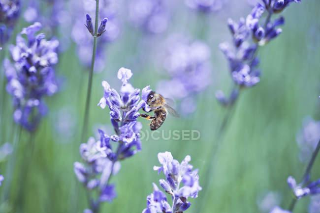 Бджола на лаванди у поле зору крупним планом — стокове фото