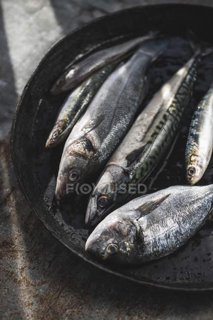 Сырой рыбы, морской лещ, морской окунь, скумбрия и сардины в сковороде — стоковое фото