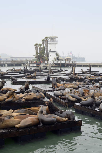 USA, California, San Francisco, sea lions in harbor at Pier 39 — Stock Photo