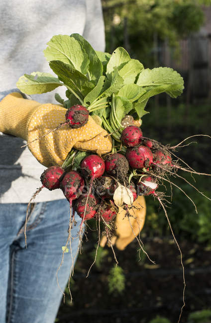 Woman holding bunch of fresh picked radishes in a garden — Stock Photo