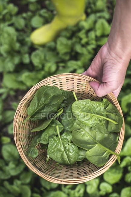 Human hand holding basket of spinach — Stock Photo