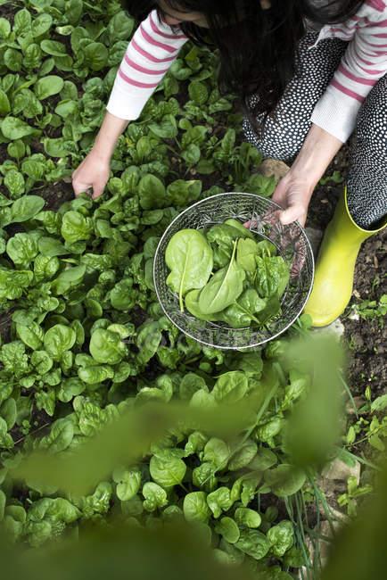 Spinat pflücken im heimischen Garten. Bio-Spinat — Stockfoto