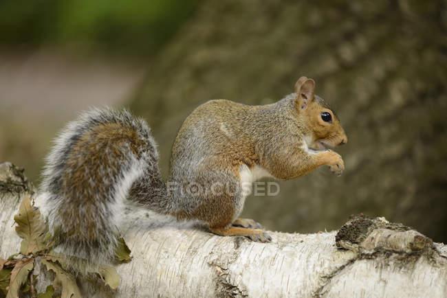Серая белка, Sciurus carolinensis, сидит на стволе дерева — стоковое фото