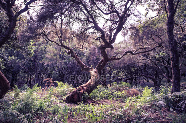 Vista diurna do Loureiro ramificada na madeira — Fotografia de Stock
