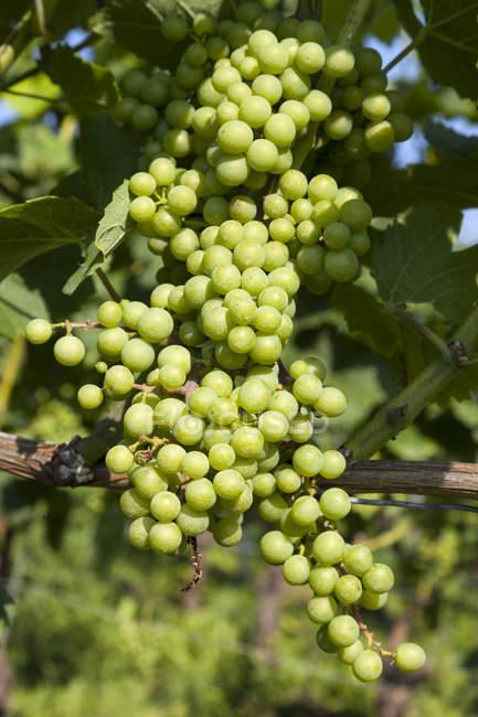 Nahaufnahme der grünen Reben, die im Weinberg wachsen — Stockfoto