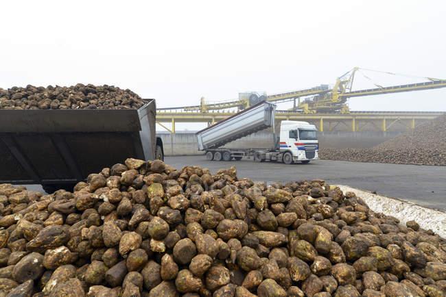 Entrega de açúcar de beterraba em um moinho de açúcar — Fotografia de Stock