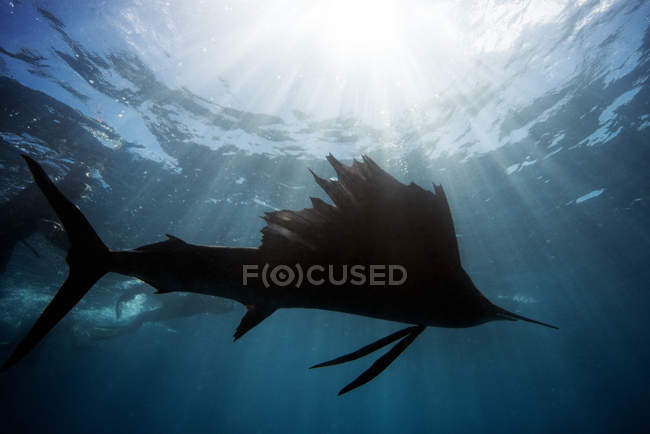 Mexico, Yucatan, Isla Mujeres, Caribbean Sea, Indo-Pacific sailfish, Istiophorus platypterus — Stock Photo