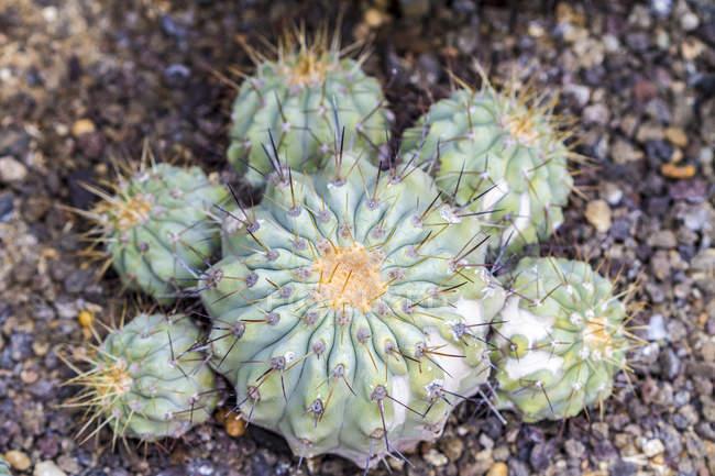Closeup elevada visão da Copiapoa, Cactaceae cactos — Fotografia de Stock