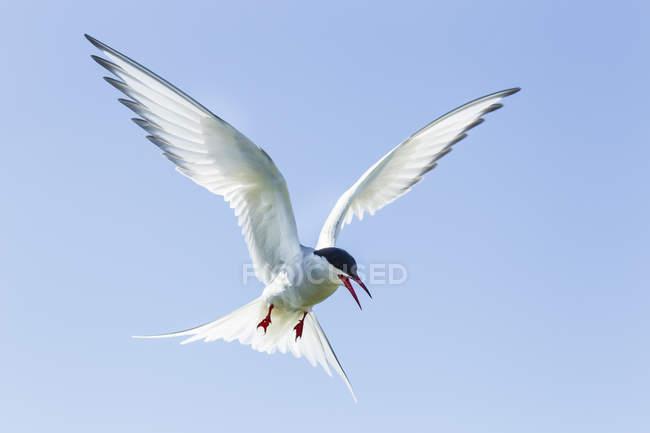 Sterne pierregarin volant contre ciel bleu — Photo de stock