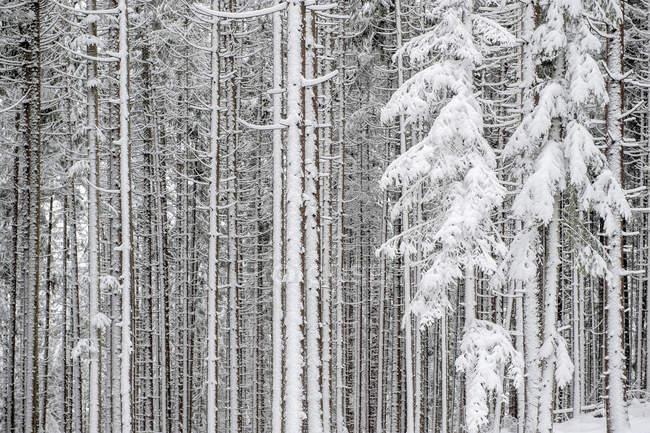 Floresta de coníferas cobertas de neve durante o dia — Fotografia de Stock