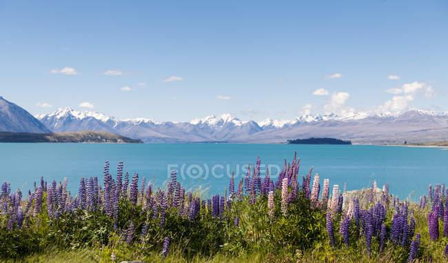New Zealand, South Island, Lake Tekapo, Russell lupin, Lupinus polyphyllus — Stock Photo