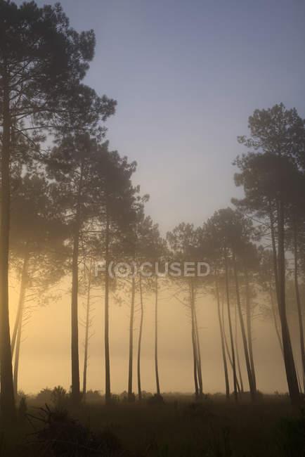 Floresta de pinheiro na luz da manhã — Fotografia de Stock